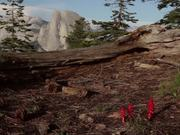 Yosemite National Park: Snow Plants