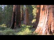 Yosemite National Park: Big Trees