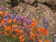 Yosemite National Park: Wildflowers