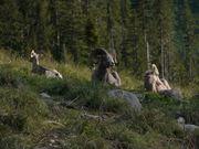 Glacier National Park: Bighorn Sheep