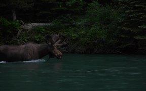 Glacier National Park: Moose