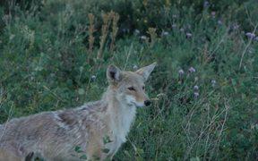 Glacier National Park: Coyote
