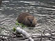 Glacier National Park: Beaver