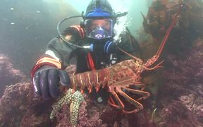 Channel Islands NP: California Spiny Lobster
