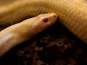 Albino Snake in Macro View - Slow Motion