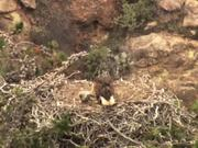 Restoring the Bald Eagle to the Channel Islands