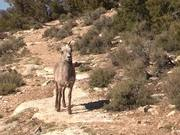 Grand Canyon NP: Young Desert Bighorn Sheep