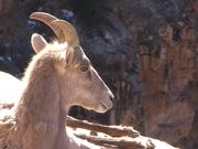 Grand Canyon NP: Close Up View of Bighorn Ewe