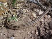 Grand Canyon National Park: Patch Nosed Snake