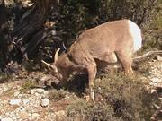 Grand Canyon NP: Desert Bighorn Sheep Foraging