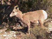 Grand Canyon NP: Desert Bighorn Sheep Foraging