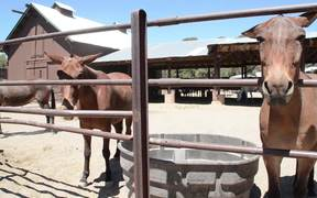 Grand Canyon National Park: Mules in the Corral