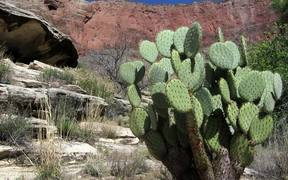 Grand Canyon National Park: Beavertail Cactus