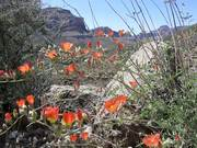 Grand Canyon National Park: Spring Wildflowers