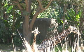 A Mother and Baby Giraffe