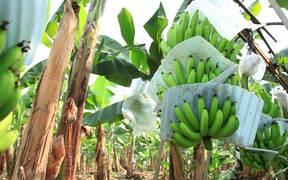 Banana Plantation in Ecuador