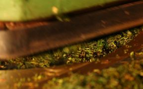 Tea Manufacture Rolling in Macro View