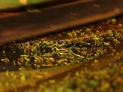 Tea Manufacture Rolling in Macro View