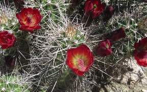 Grand Canyon National Park: Cacti and Pollenators