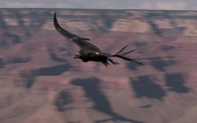 Grand Canyon National Park: Condors Flying