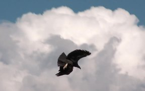 Grand Canyon National Park: Condors Flying