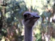 Ostrich Heads
