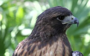 Amazing Hawk