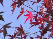 Bright Red Autumn Leaves Close Up