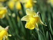 Daffodils in Spring Close Up
