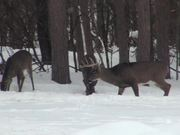 3 Bucks Standing in the Snow Eating