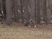 3 Legged Deer Limps - Lost Leg Due to Hunters