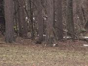 3 Legged Deer Limps - Lost Leg Due to Hunters
