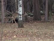 3 Legged Deer Walks Through Forest Limping