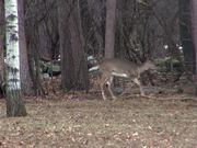 3 Legged Deer Walks Through Forest Limping