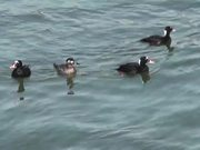 4 Ducks Floating on Water Alaska Mohr Productions