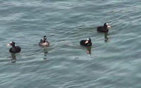 4 Ducks Floating on Water Alaska Mohr Productions