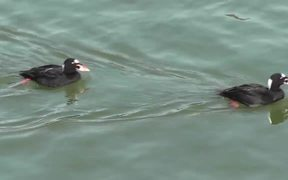 4 Ducks Swim By Alaska Mohr Productions