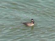 4 Ducks Swim By Alaska Mohr Productions
