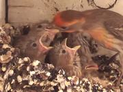 Baby Birds In Nest Fed By Father-Eating Close Up