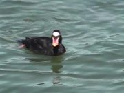 Black Duck with Orange Bill Swimming