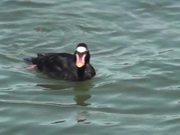 Black Duck with Orange Bill Swimming