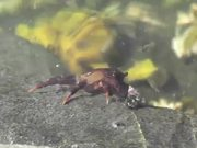 Crab Walking Under Water Pond Alaska