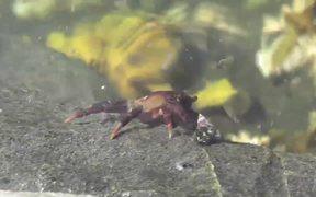 Crab Walking Under Water Pond Alaska