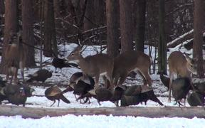 Dozens of Turkeys Eating and Pecking in the Snow