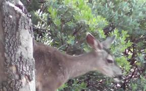 Deer Eating Leaves Julian