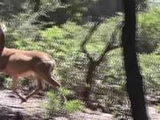 Deer Running on Hill Julian