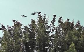Dozens Black Birds Cover Tree Tops Alaska