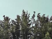 Dozens Black Birds Cover Tree Tops Alaska