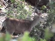 Deer Standing in Distance Julian
