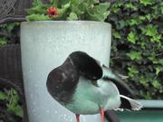 Ducks_Standing_On_Side_Of_The_Pool